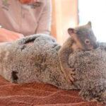 Bebek Koala'yı Ameliyat Olan Annesinden Ayıramadılar