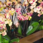 Orkide Coşturan