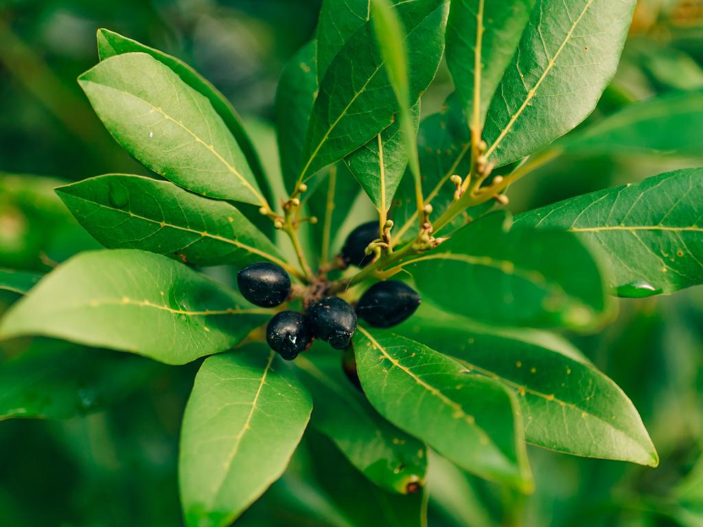 Yemeklere Tat Katan Lezzet Defne Yaprağı