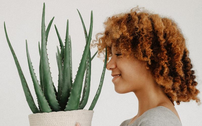 Aloe Vera bitkisinin bakımı